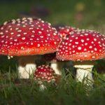 Почему мухомор назвали «мухомором»? Чем опасен этот гриб?