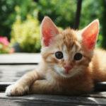 Красные кошки. Генетика красного окраса у кошек