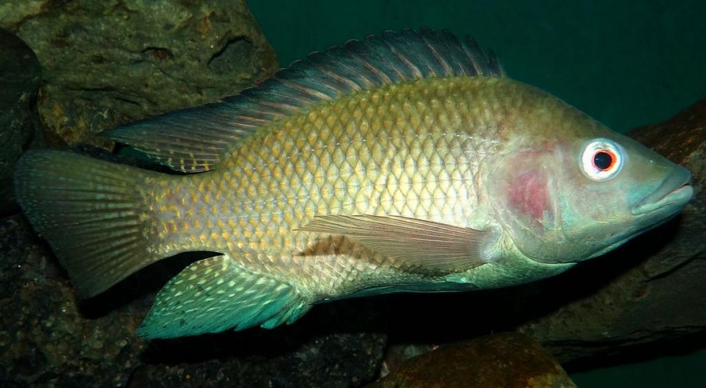 Какая рыба без костей