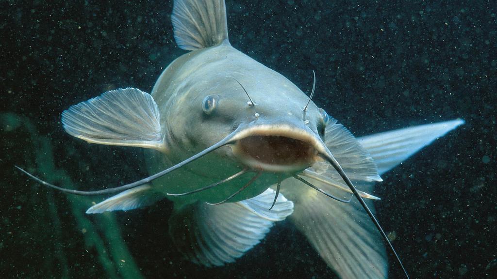 Какая рыба без костей самая вкусная