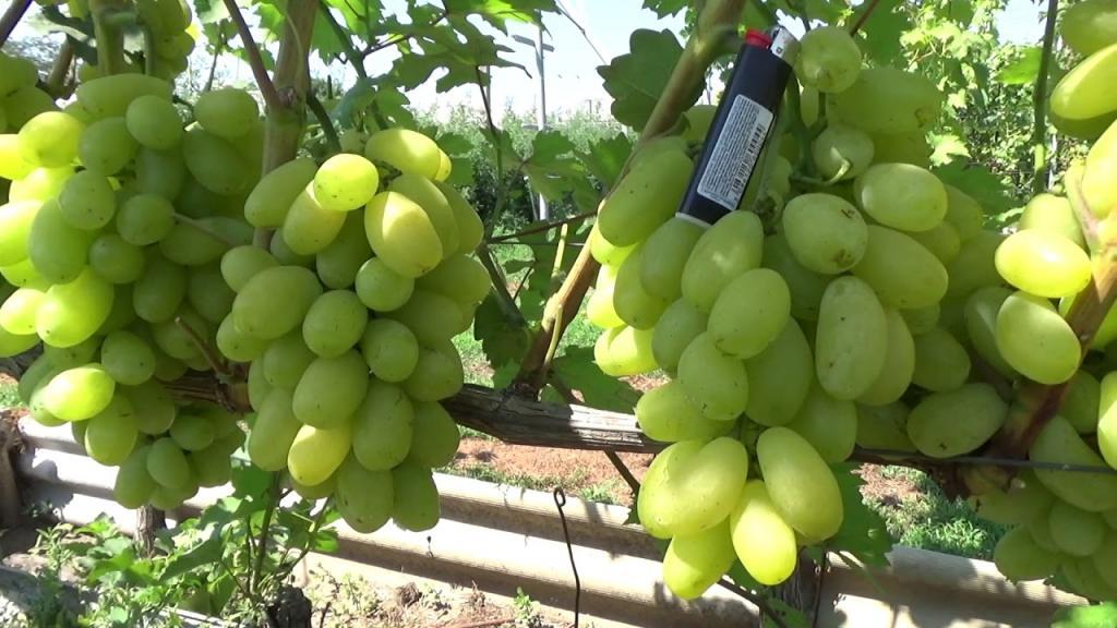 виноград Сицилия