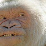История единственной известной науке гориллы-альбиноса