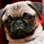Дирофиляриоз у собак: лечение, симптомы, методы диагностики, последствия