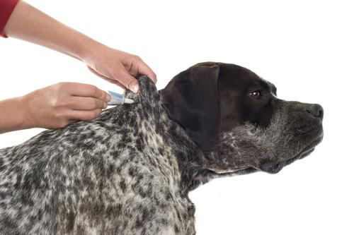 dirofilaria immitis у собак лечение