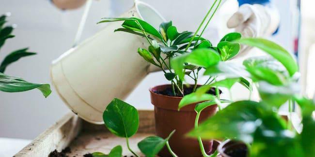 можно ли поливать комнатные цветы аспирином
