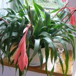 Цветок бильбергия - уход в домашних условиях, особенности полива и размножения