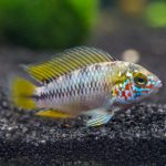 Аквариумные рыбки карликовые цихлиды: виды, описание, содержание и совместимость