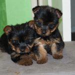 До скольки месяцев растут собаки разных пород: особенности и этапы развития