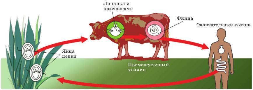 хозяин свиного цепня