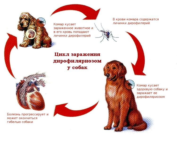 дирофиляриоз у собак заражение