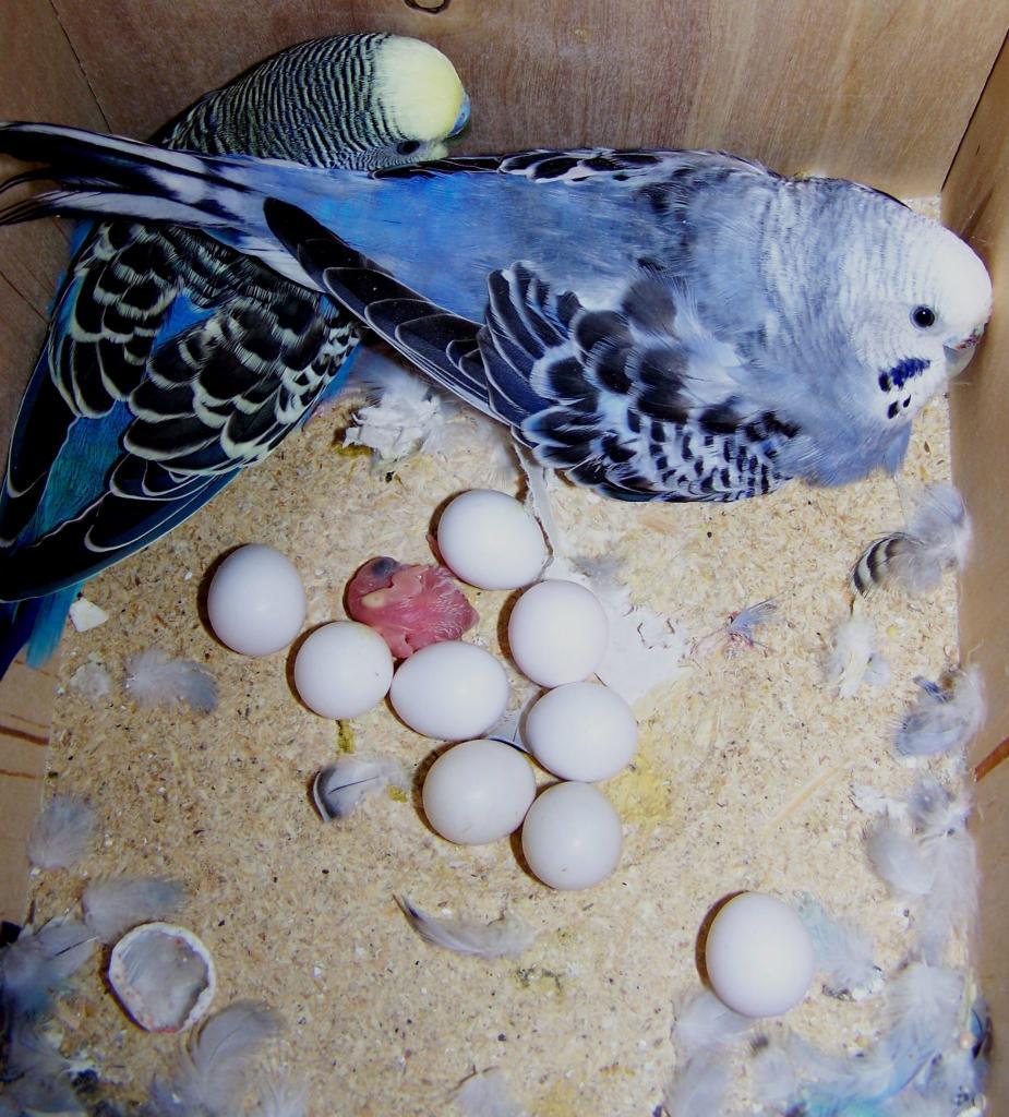 Попугаи в гнезде