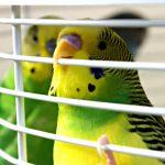 Сколько высиживает яйца волнистый попугай в домашних условиях?