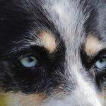 Помесь лайки и овчарки: западно-сибирская лайка, хаски и овчарка