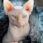 Кошка породы сфинкс: отзывы владельцев, описание породы, особенности содержания