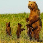 Бурый атласский медведь: описание и особенности
