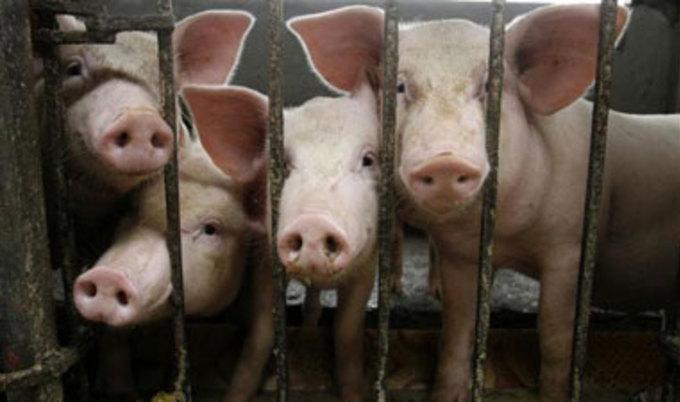 Свиньи перед убоем