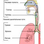 Верхние дыхательные пути - это наружный нос, полость носа, носоглотка и ротоглотка. Анатомия и физио...