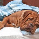 Непроходимость кишечника: симптомы у собак, причины и лечение