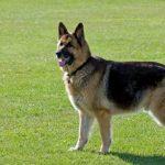Дисплазия локтевого сустава у собак: причины, симптомы и признаки, лечение, отзывы