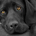 Удаление голосовых связок у собак: описание процедуры, результат