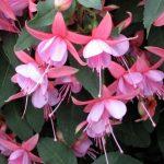 Фуксия гибридная: описание, выбор сорта, разведения и рекомендации по уходу