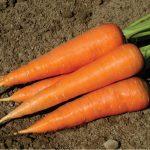Морковь: описание сортов, полезные свойства, химический состав и калорийность