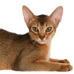 Уши кошки: строение и особенности