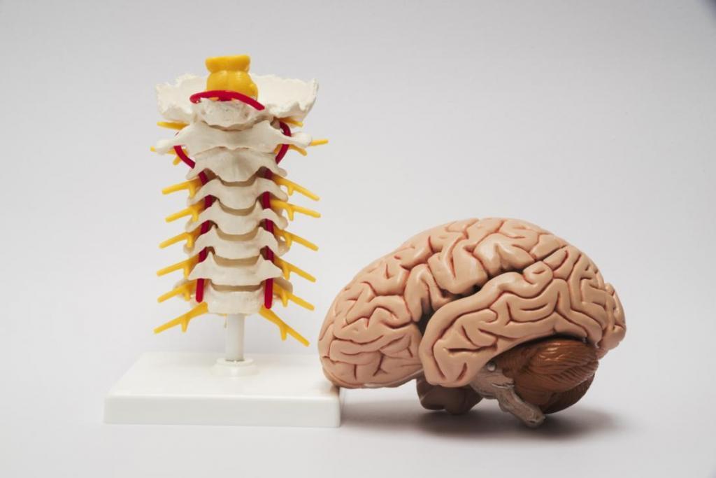 центральная нервная система