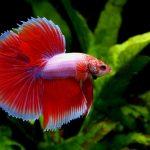 Красные аквариумные рыбки: виды, описание, содержание
