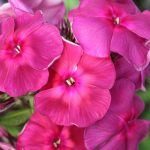 Флокс Травиата: описание, особенности выращивания, болезни и лечение