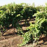Виноград потомок ризамата: описание с фото, характеристики сорта, рекомендации по уходу и разведен...