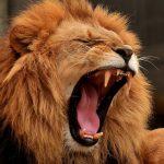 Что едят львы в дикой природе