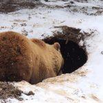 Берлога - это удобное место зимовки медведей