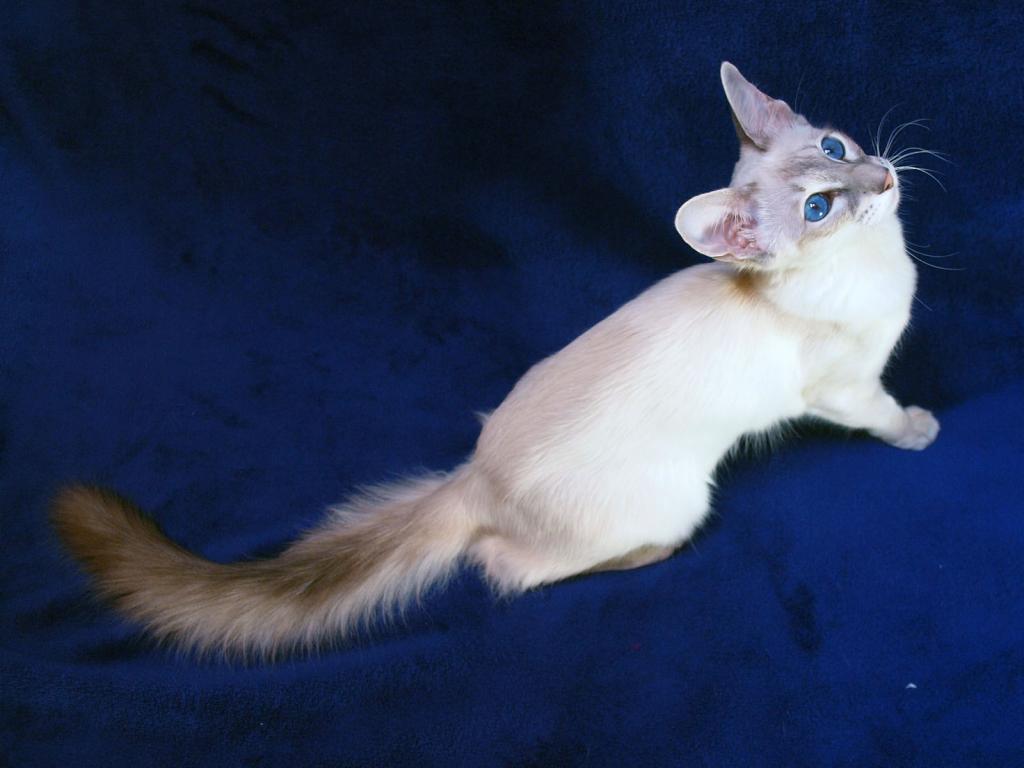 красивый, редкий окрас балинезийской кошки