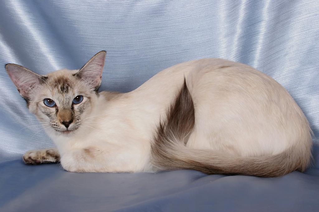 кремовый окрас балинезийской кошки