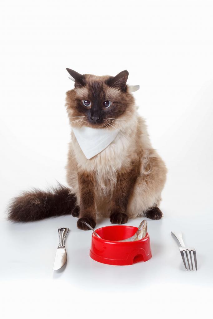 питание балинезийской кошки