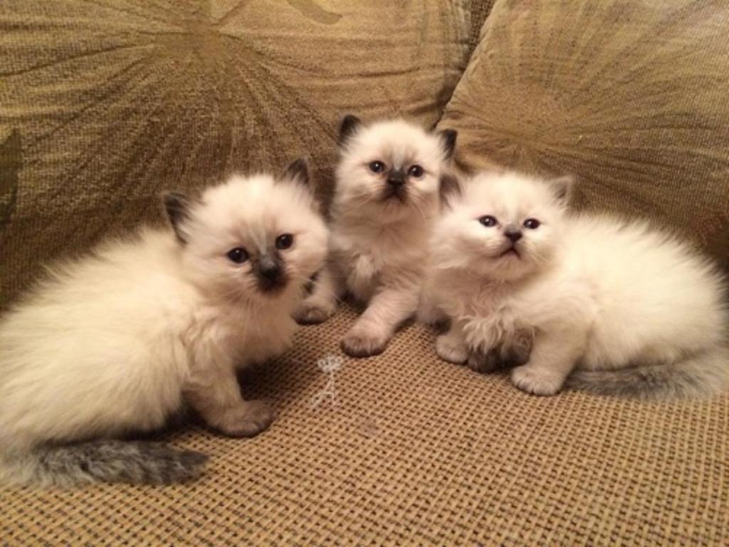 балинезийские котята