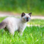 Кошки балинезийской породы: описание с фото, особенности разведения котят, характеристики породы и с...
