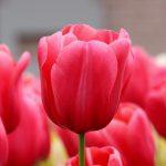 Как вырастить тюльпаны к 8 Марта: подготовка почвы, особенности посадки и полива, уход