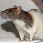 Микоплазмоз у крыс: симптомы, причины, лечение и профилактика
