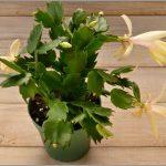 Цветок желтый декабрист (шлюмбергера): описание, уход в домашних условиях