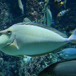 Рыба-единорог: фото, описание. Рыба-кит единорог