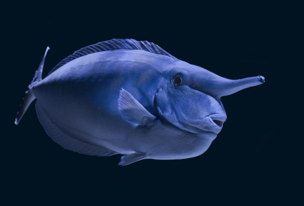 Характерные особенности рыбы-единорога