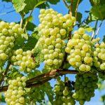 Когда сажать черенки винограда: лучшее время для посадки, особенности разведения, рекомендации по вы...