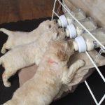 Искусственное вскармливание щенков заменителями сучьего молока