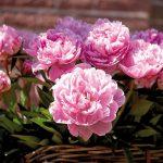Что такое пионы, описание цветов, лучшие сорта, разведение и рекомендации по уходу
