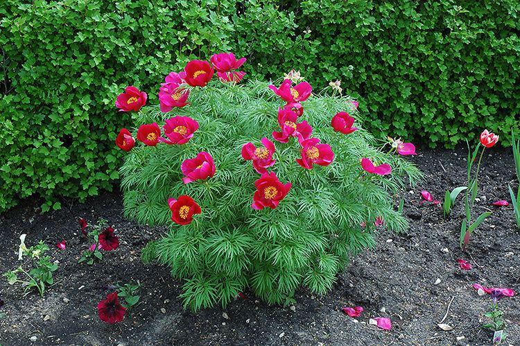 Пион значение цветка