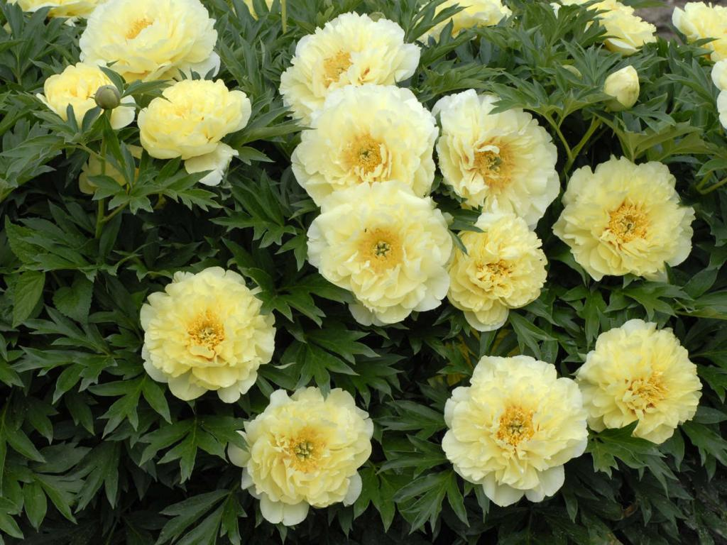 Цветы пионы розовые