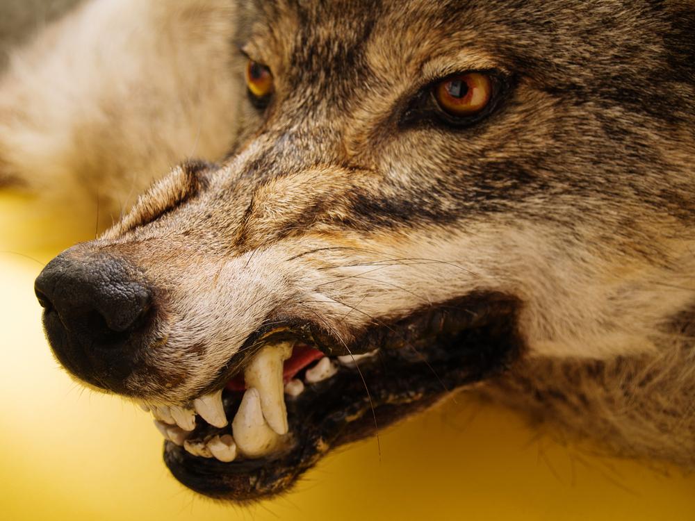 Оскал волка