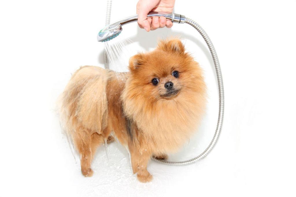 Как подстричь померанского шпица в домашних условиях